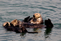 Sea otters grooming and napping