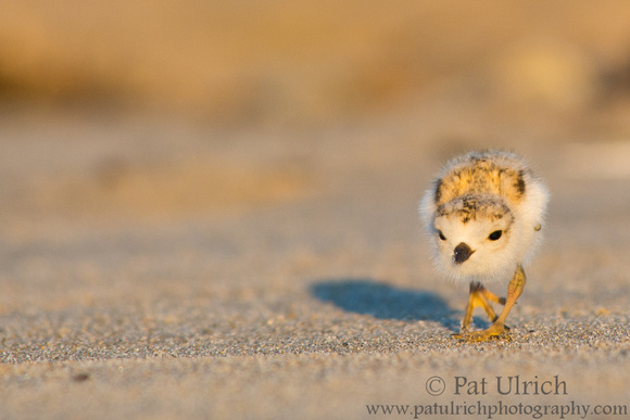 Photograph of a piping plover chick chasing prey in Massachusetts