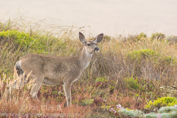 Female mule deer standing in dune grass, Point Reyes National Seashore