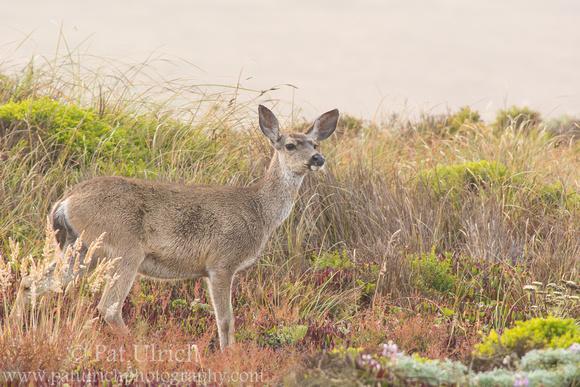 Female mule deer standing in dune grass, Point Reyes National Seashore