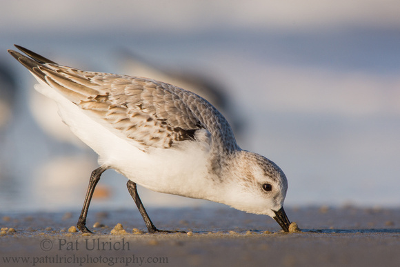 Photograph of a sanderling pushing its beak through the sand at Parker River NWR
