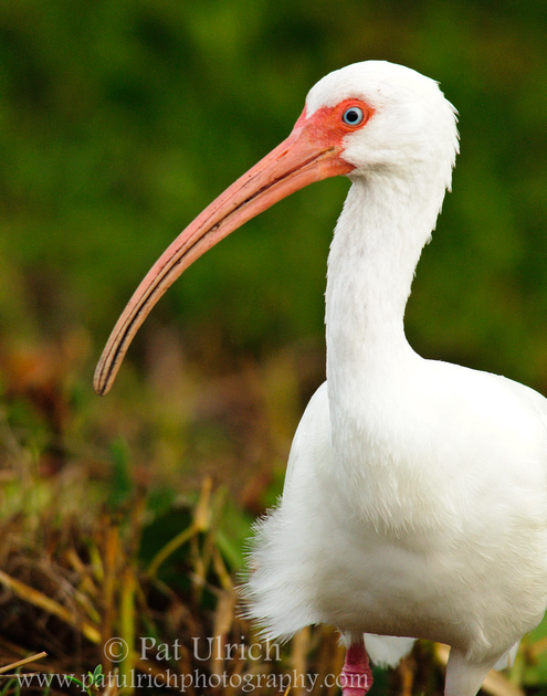 Portrait of a white ibis in Ding Darling National Wildlife Refuge