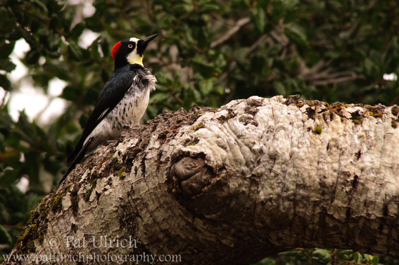 Woodpecker on the tree