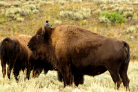 Bison and magpie