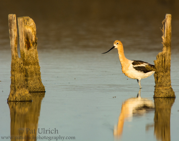 Curious American avocet at sunrise in Don Edwards NWR