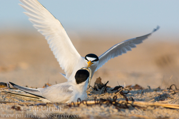 Photograph of a least tern delivering a fish to its partner