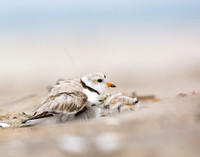 Piping plover chick tucking under its parent