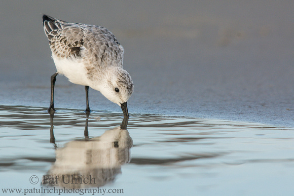 Sanderling feeds with reflection at Ogunquit Beach in Maine