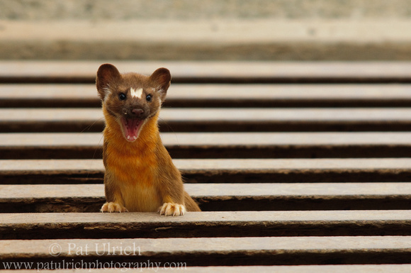 Photograph of a long-tailed weasel having fun in a cattle grate