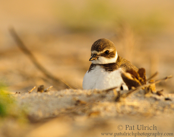 Semipalmated plover at sunset, Sandy Point State Reservation