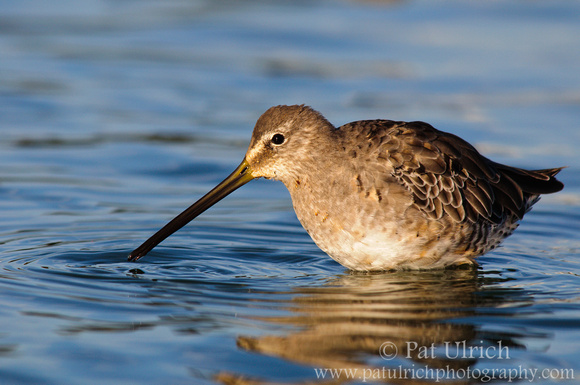 Dowitcher feeding in blue water at Radio Road Ponds