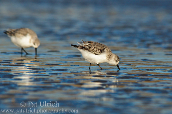 Photograph of two sanderlings hunting on the sand in Massachusetts