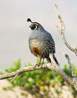 Quail on a branch at sunrise