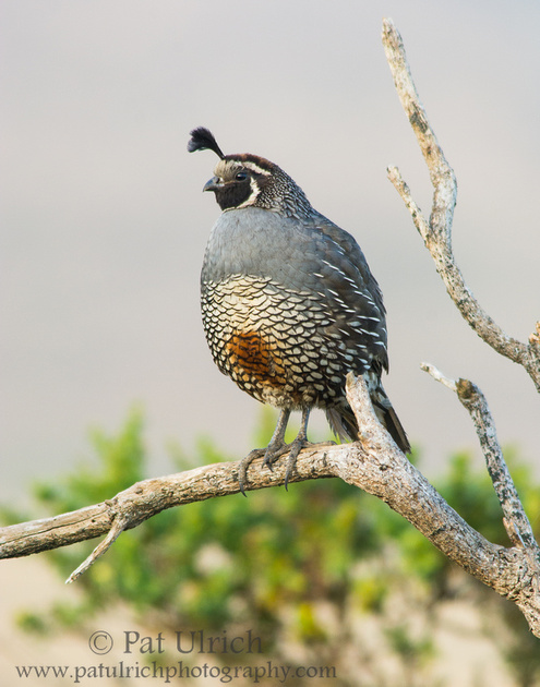 A male California quail on a branch at sunrise in Point Reyes National Seashore