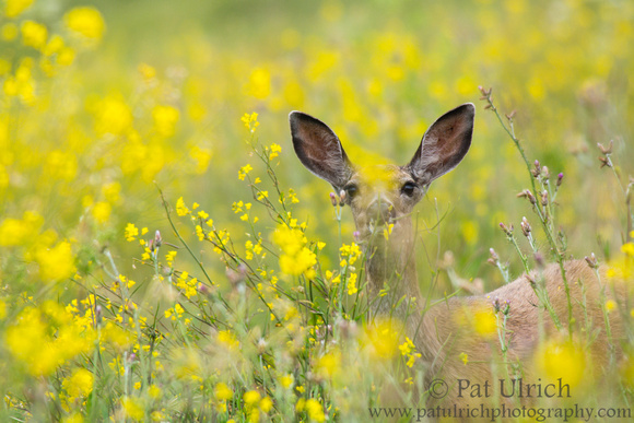 Mule deer in wildflowers in Point Reyes National Seashore