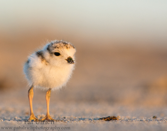Fluffy piping plover chick in early morning light on Plum Island, Massachusetts