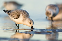 Sanderlings at sunset