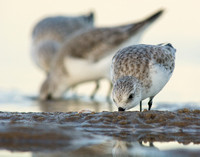 Sanderlings feeding as the light fades