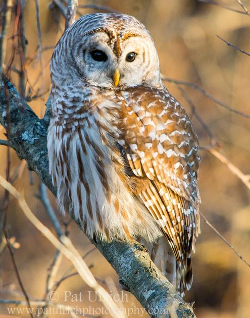 Barred owl in the forest at sunset in Parker River National Wildlife Refuge