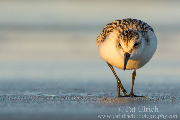 Sanderling looking for a meal at sunset in Parker River National Wildlife Refuge