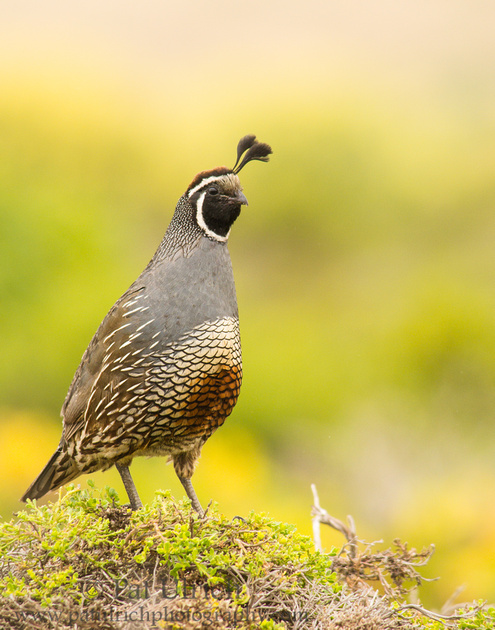 A California quail stands atop the brush near Abbott's Lagoon in Point Reyes National Seashore