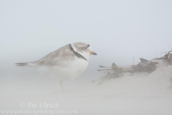 Piping plover obscured by blowing sand in Massachusetts