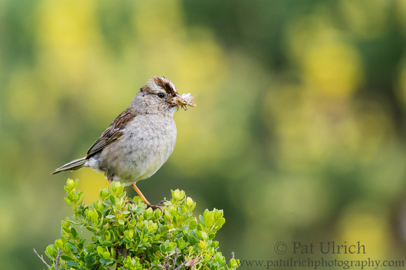 White-crowned sparrow with a beak full of bugs