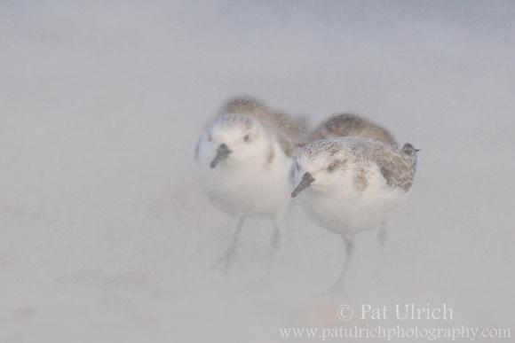 Sanderlings brace against blowing sand on Plymouth Beach, Massachusetts