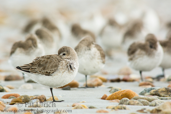 Wildlife Photography by Pat Ulrich: Resting dunlin on Plymouth Beach