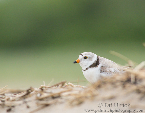 Piping plover watching over its chick