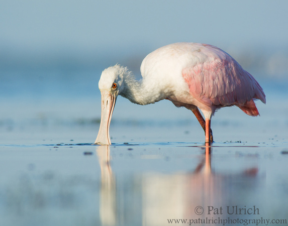 Roseate spoonbill with bill submerged in water at Bunche Beach Preserve