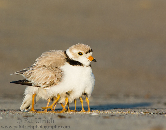Eight baby plover legs stick out from under a parent at Sandy Point State Reservation