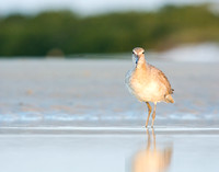 Willet calling on the beach