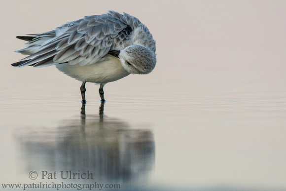 Sanderling preening in pastel light