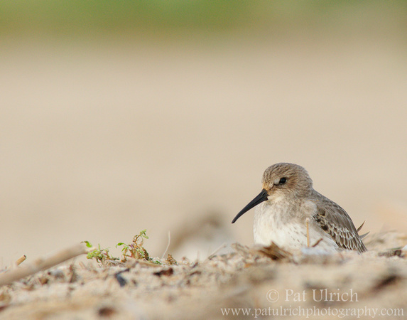 Dunlin in the dunes by Pat Ulrich