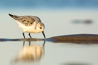Sanderling on a spit of sand