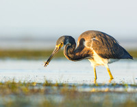 Tricolored heron with small striped fish