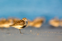 Dunlin standing out from the flock