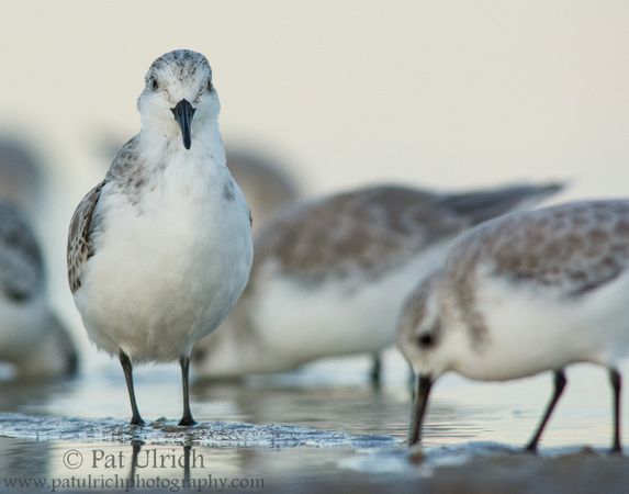Sanderling stands tall