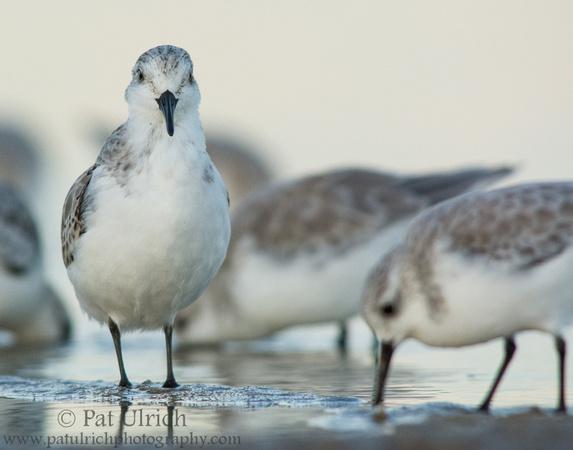 Sanderling stands tall at Parker River NWR