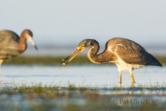 Tricolored heron tossing small fish in Fort Myers, Florida