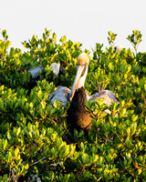 Brown pelican in a red mangrove