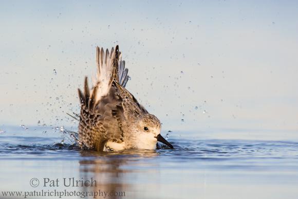 Sanderling splashing as it takes a bath at Parker River National Wildlife Refuge
