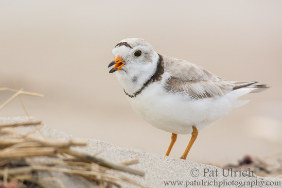 Piping plover calling to its chick
