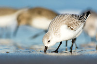 Winter sanderling at Parker River NWR