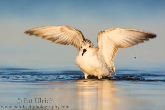 Sanderling wing flap in Parker River National Wildlife Refuge