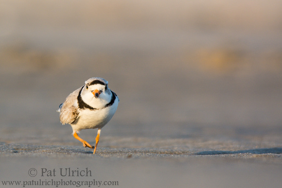 Piping plover at sunset