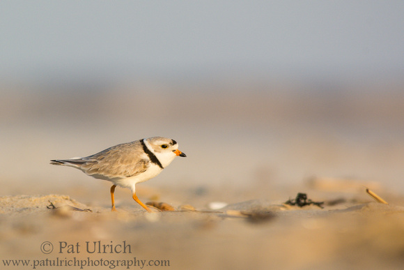 Piping plover running over the sand at sunset in Sandy Point State Reservation, Massachusetts