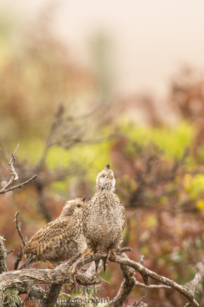 California quail fledgling singing in Point Reyes National Seashore
