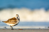 Dunlin looks into the lens
